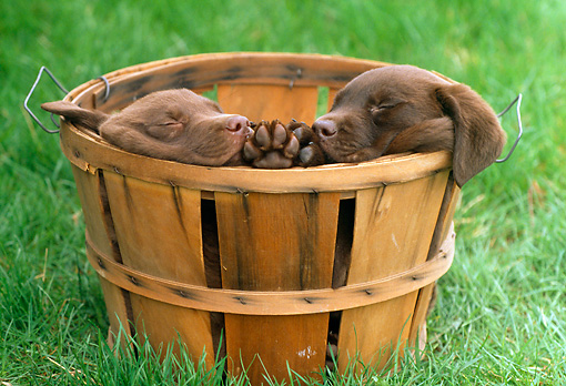 PUP 05 GR0047 01 © Kimball Stock Two Chocolate Labrador Retreiver Puppies Sleeping In Basket