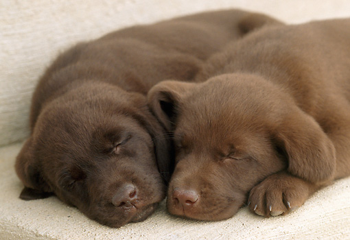 PUP 05 GR0052 01 © Kimball Stock Two Chocolate Labrador Retreiver Puppies Sleeping On Step