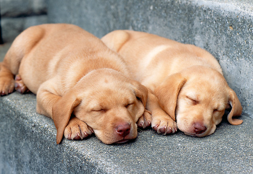 PUP 05 GR0062 01 © Kimball Stock Two Yellow Labrador Retreiver Puppies Sleeping On Step