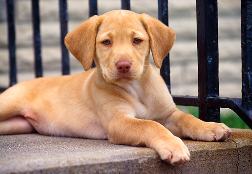 PUP 05 GR0070 01 © Kimball Stock Yellow Labrador Retreiver Puppy Laying On Porch By Railing