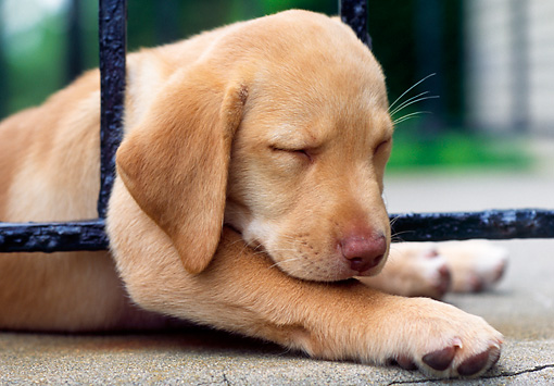 PUP 05 GR0071 01 © Kimball Stock Yellow Labrador Retreiver Puppy Sleeping On Porch Railing