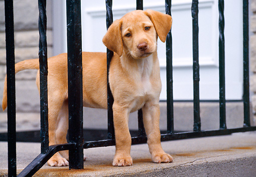 PUP 05 GR0073 01 © Kimball Stock Yellow Labrador Retreiver Puppy Standing On Porch Between Railing