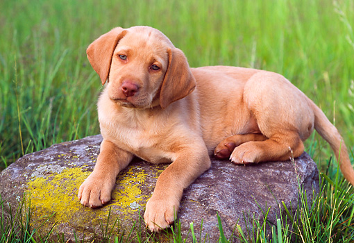 PUP 05 GR0074 01 © Kimball Stock Yellow Labrador Retreiver Puppy Laying On Rock In Field