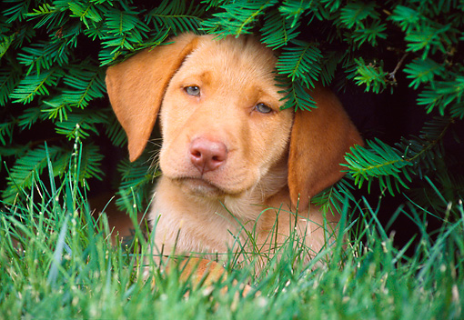 PUP 05 GR0088 01 © Kimball Stock Yellow Labrador Retreiver Puppy Laying On Grass Under Shrub