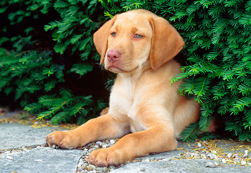 PUP 05 GR0089 01 © Kimball Stock Yellow Labrador Retreiver Puppy Laying Under Shrub