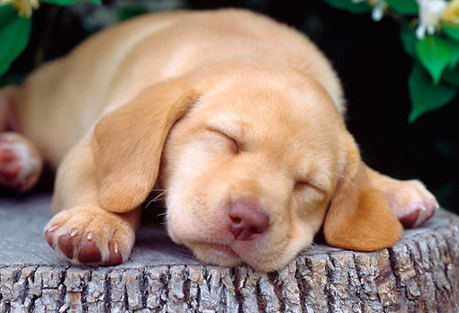 PUP 05 GR0095 01 © Kimball Stock Yellow Labrador Retreiver Puppy Sleeping On Tree Stump
