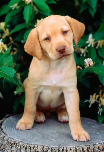 PUP 05 GR0097 01 © Kimball Stock Yellow Labrador Retreiver Puppy Sitting On Tree Stump