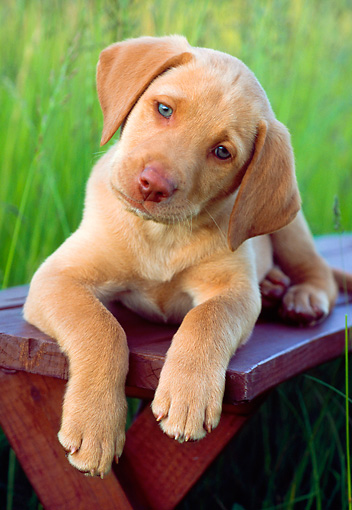 PUP 05 GR0100 01 © Kimball Stock Yellow Labrador Retreiver Puppy Laying On Bench In Field