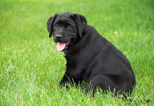 PUP 05 GR0103 01 © Kimball Stock Black Labrador Retreiver Puppy Sitting On Grass