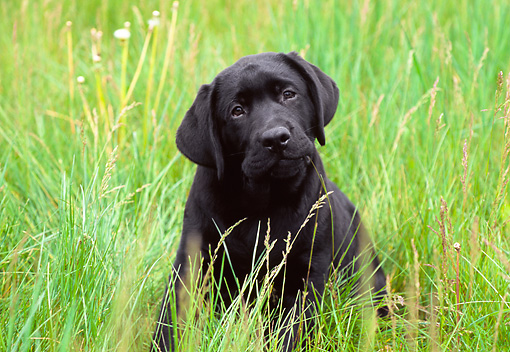PUP 05 GR0107 01 © Kimball Stock Black Labrador Retreiver Puppy Sitting In Field