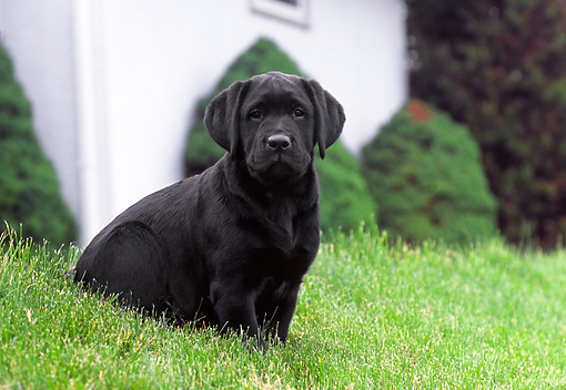 PUP 05 GR0110 01 © Kimball Stock Black Labrador Retreiver Puppy Sitting On Grass By Shrubs Building