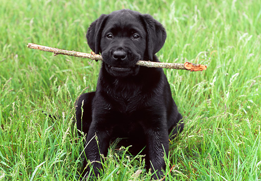 PUP 05 GR0113 01 © Kimball Stock Black Labrador Retreiver Puppy Sitting In Field Holding Stick In Mouth