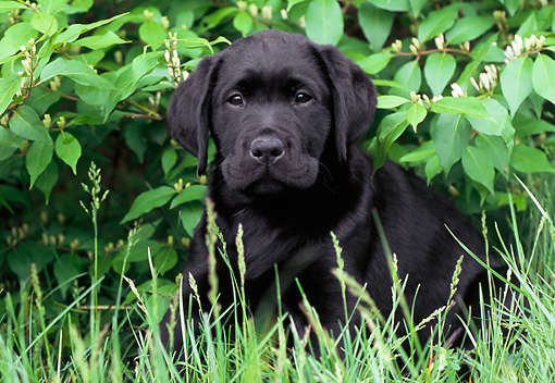 PUP 05 GR0115 01 © Kimball Stock Black Labrador Retreiver Puppy Sitting In Grass Under Shrub
