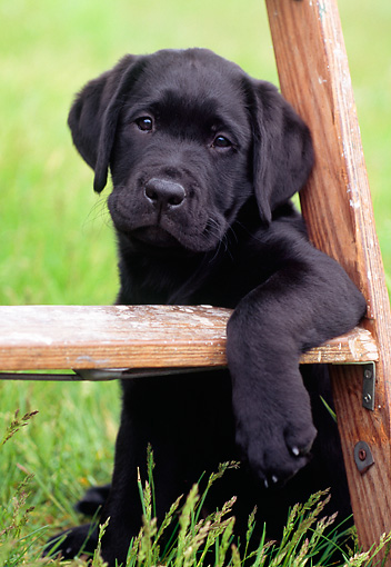 PUP 05 GR0119 01 © Kimball Stock Black Labrador Retreiver Puppy Sitting Under Ladder On Grass