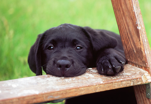 PUP 05 GR0120 01 © Kimball Stock Black Labrador Retreiver Puppy Chewing Ladder On Grass