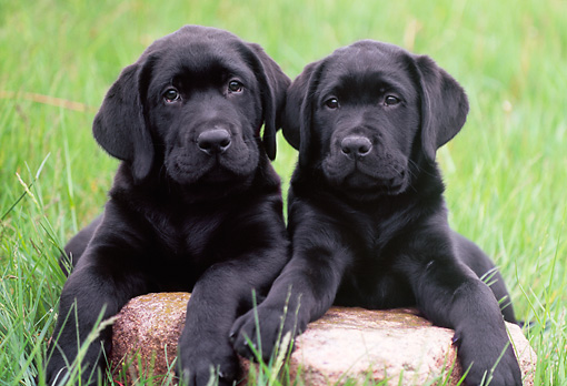 PUP 05 GR0121 01 © Kimball Stock Two Black Labrador Retreiver Puppies Laying On Rock On Grass