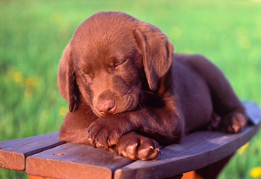 PUP 05 GR0132 01 © Kimball Stock Chocolate Labrador Retreiver Puppy Sleeping On Bench