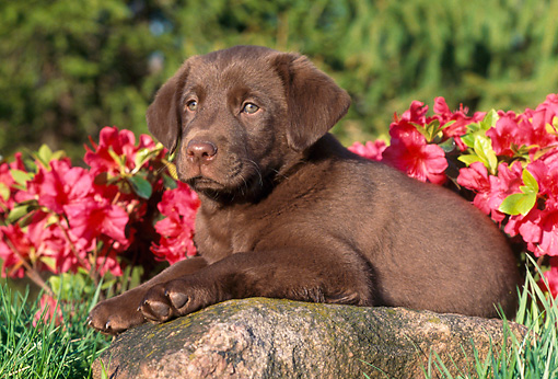PUP 05 GR0134 01 © Kimball Stock Chocolate Labrador Retreiver Puppy Laying On Rock By Red Flowers