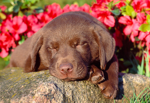 PUP 05 GR0135 01 © Kimball Stock Chocolate Labrador Retreiver Puppy Sleeping On Rock By Red Flowers