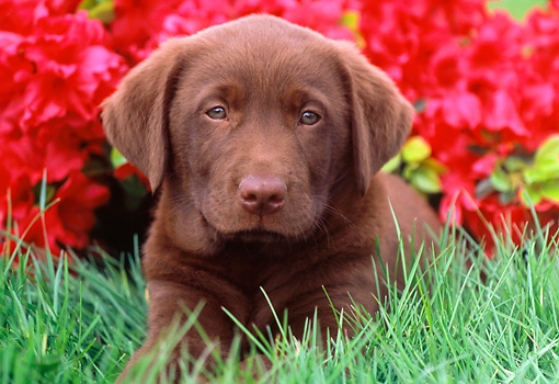 PUP 05 GR0136 01 © Kimball Stock Chocolate Labrador Retreiver Puppy Laying On Grass By Red Flowers