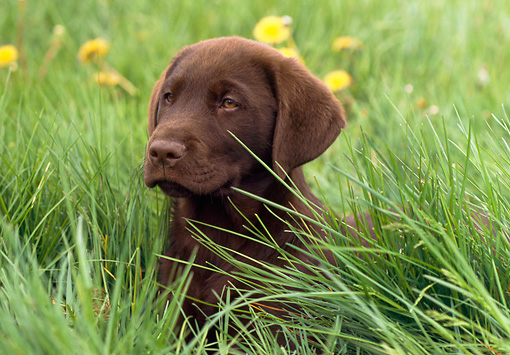 PUP 05 GR0142 01 © Kimball Stock Chocolate Labrador Retreiver Puppy Laying On Grass By Dandelions