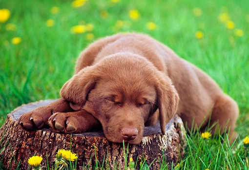 PUP 05 GR0144 01 © Kimball Stock Chocolate Labrador Retreiver Puppy Laying On Tree Stump On Grass By Dandelions