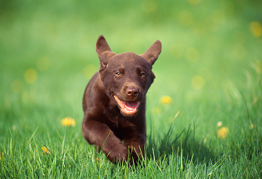 PUP 05 GR0148 01 © Kimball Stock Chocolate Labrador Retreiver Puppy Running On Grass By Dandelions