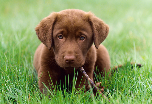 PUP 05 GR0150 01 © Kimball Stock Chocolate Labrador Retreiver Puppy Laying On Grass Chewing Stick