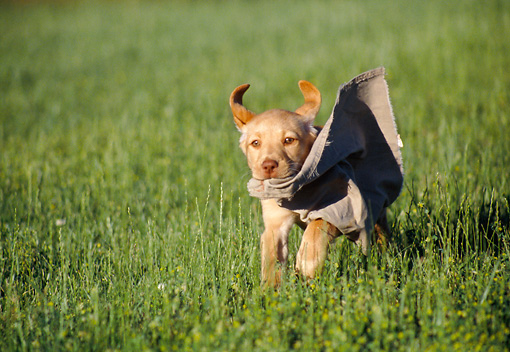 PUP 05 GR0160 01 © Kimball Stock Yellow Labrador Retriever Puppy Running Through Field Carrying Rag