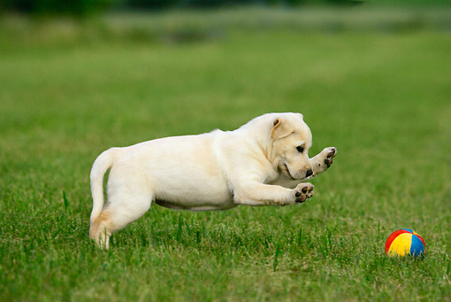 PUP 05 KH0001 01 © Kimball Stock Yellow Labrador Retriever Puppy Playing With Ball In Field