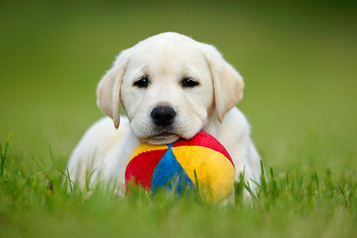 PUP 05 KH0002 01 © Kimball Stock Yellow Labrador Retriever Puppy Resting Head On Ball In Field