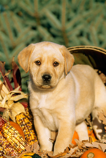 PUP 05 LS0002 01 © Kimball Stock Yellow Labrador Retriever Puppy Standing By Basket And Corn