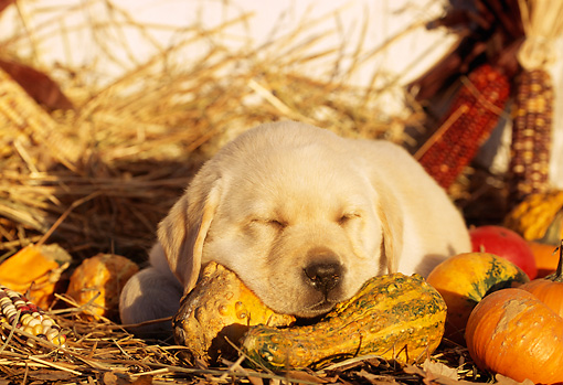 PUP 05 LS0003 01 © Kimball Stock Yellow Labrador Retriever Puppy Sleeping On Gourds And Hay