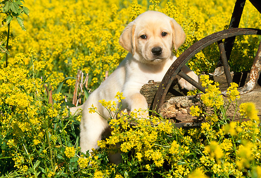 PUP 05 LS0005 01 © Kimball Stock Yellow Labrador Retriever Puppy Climbing On Wheelbarrow In Field