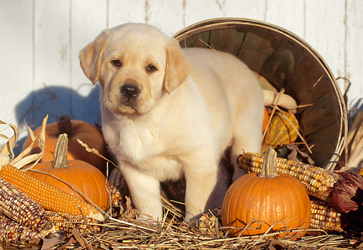 PUP 05 LS0006 01 © Kimball Stock Yellow Labrador Retriever Puppy Standing By Basket Pumpkin And Corn