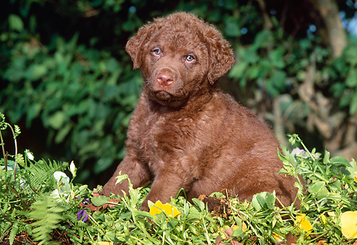 PUP 05 LS0007 01 © Kimball Stock Chesapeake Bay Retriever Puppy Sitting Among Foliage