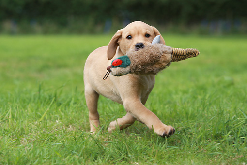 PUP 05 NR0024 01 © Kimball Stock Yellow Labrador Retriever Puppy Running In Grass Carrying Toy