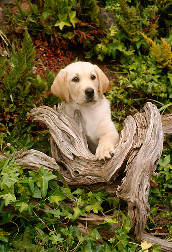 PUP 05 RC0001 01 © Kimball Stock Portrait Of Yellow Labrador Retriever Puppy Sitting On Log Among Foliage