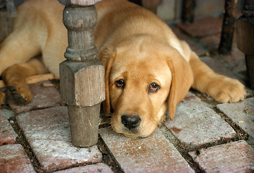 PUP 05 RC0004 01 © Kimball Stock Portrait Of Yellow Labrador Retriever Puppy Laying On Brick Floor Under Table