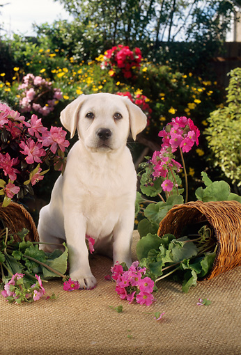 PUP 05 RC0005 01 © Kimball Stock Portrait Of Yellow Labrador Retriever Puppy Sitting By Knocked-Over Flower Pot
