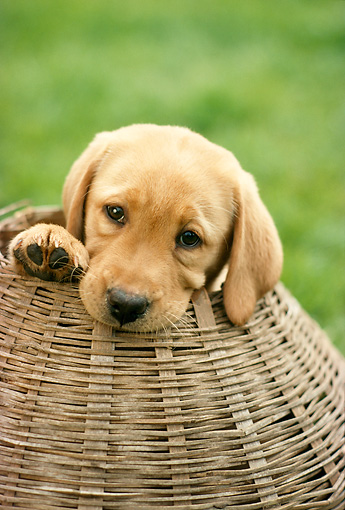 PUP 05 RC0006 01 © Kimball Stock Portrait Head Shot Of Yellow Labrador Retriever Puppy Sitting In Wicker Basket