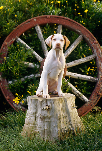 PUP 05 RC0007 01 © Kimball Stock Portrait Of Yellow Labrador Retriever Puppy Sitting On Tree Stump By Wagon Wheel Grass Shrubs