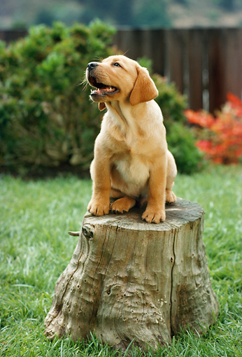 PUP 05 RC0009 01 © Kimball Stock Yellow Labrador Retriever Puppy Sitting On Stump