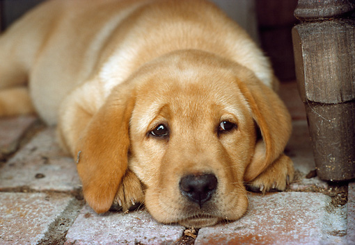 PUP 05 RC0010 01 © Kimball Stock Yellow Labrador Retriever Puppy Laying On Brick Floor