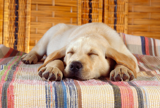 PUP 05 RC0011 01 © Kimball Stock Yellow Labrador Retriever Puppy Sleeping On Striped Cloth