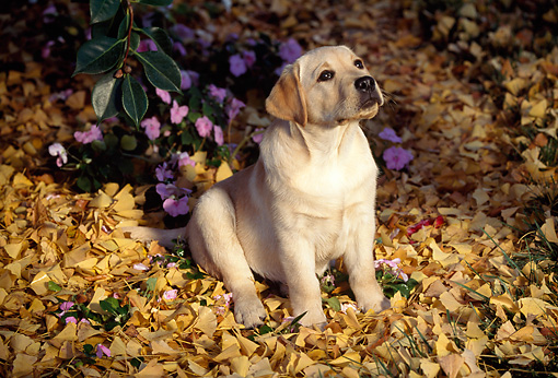 PUP 05 RK0016 03 © Kimball Stock Yellow Labrador Retriever Puppy Sitting On Grass With Yellow Leaves By Flowers