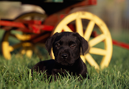 PUP 05 RK0048 05 © Kimball Stock Black Labrador Puppy Laying On Grass By Wagon Wheel