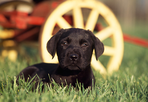 PUP 05 RK0048 06 © Kimball Stock Black Labrador Puppy Laying On Grass By Wagon Wheel