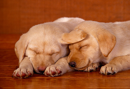 PUP 05 RK0053 01 © Kimball Stock Two Labrador Puppies Sleeping Together On Wooden Floor