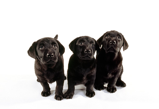PUP 05 RK0084 02 © Kimball Stock Three Black Labrador Retriever Puppies Standing On White Seamless Studio